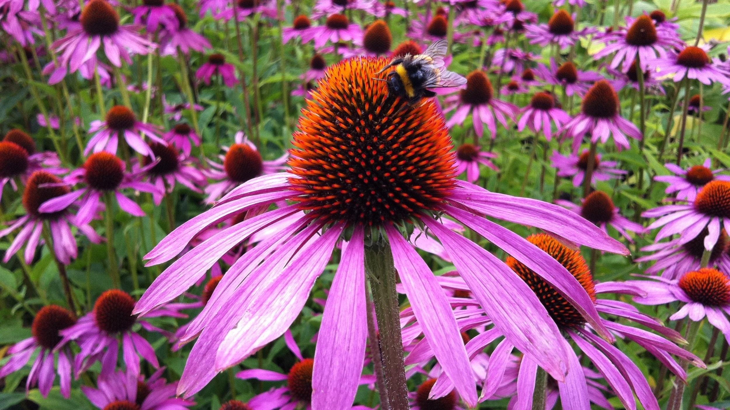 Purple+echinacea+w%3Abee.jpg