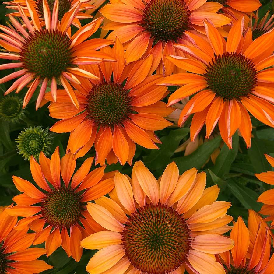 Echinacea Prima Ginger.jpg
