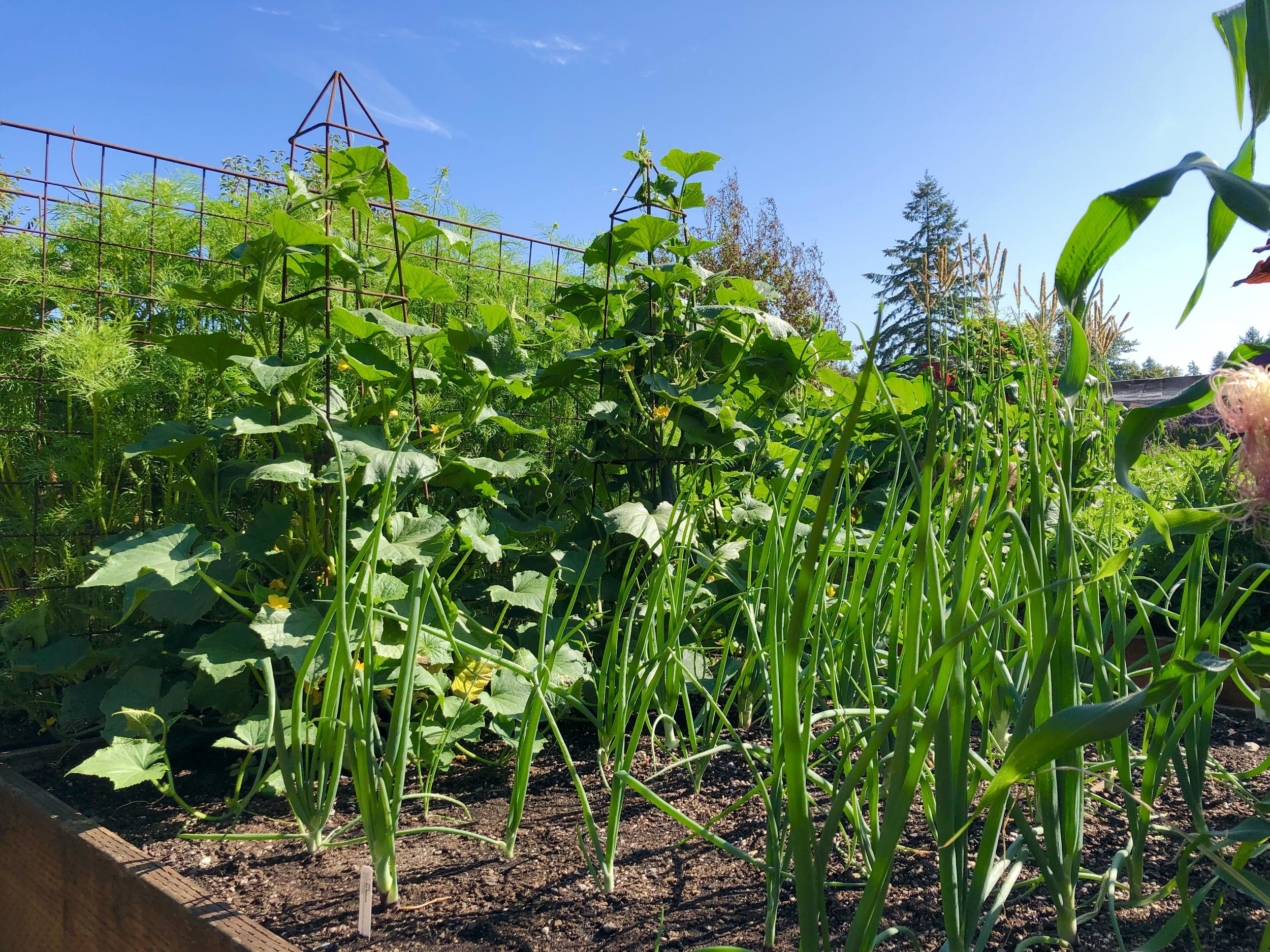 Steve's veg garden.JPG