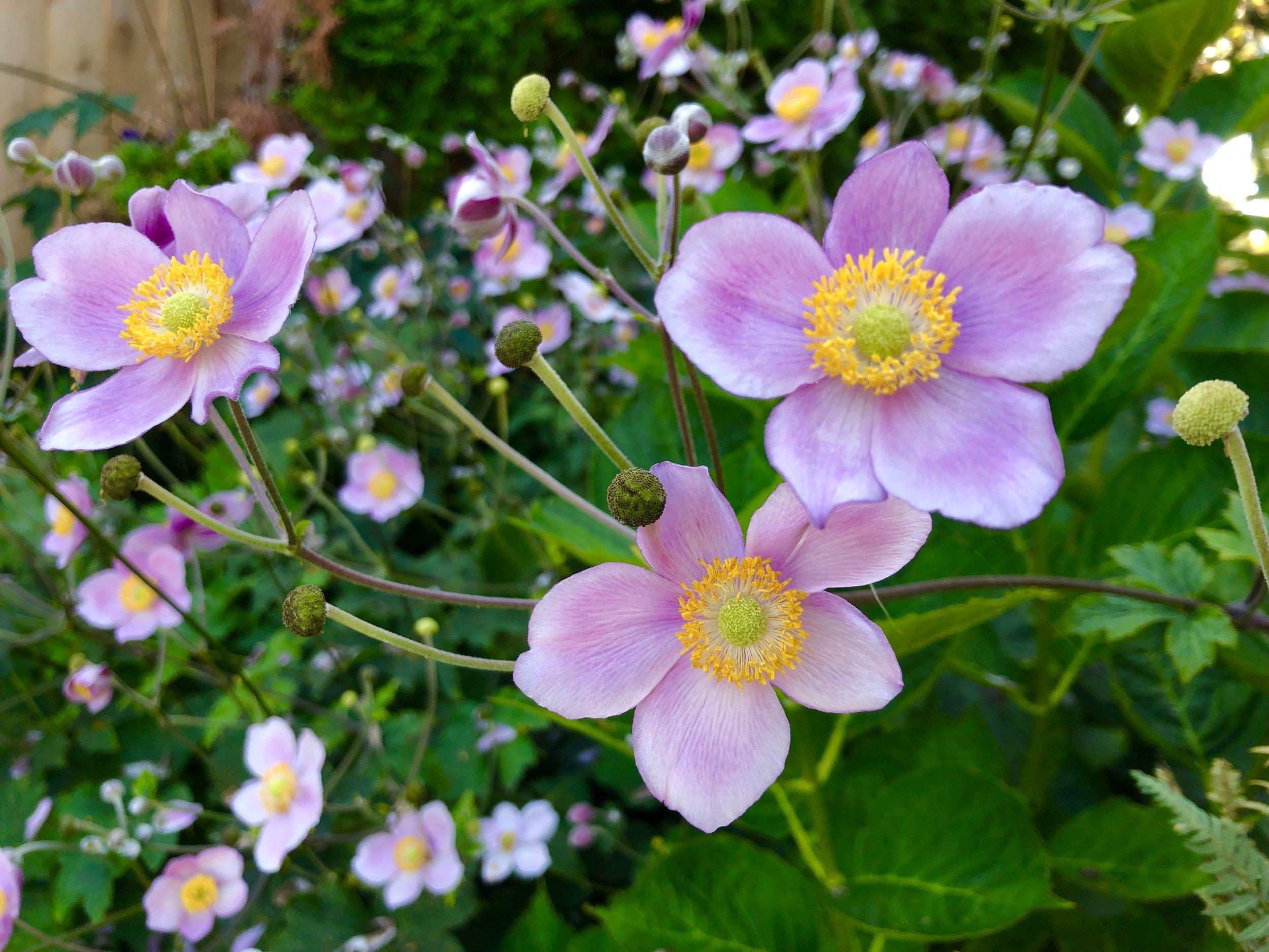 anemones from steve's yard.JPG