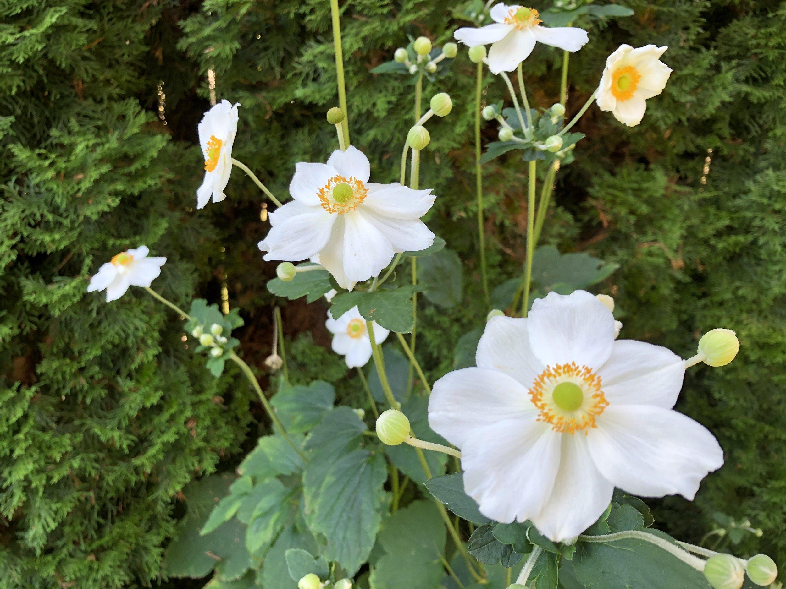 anemones in steves yard2.JPG
