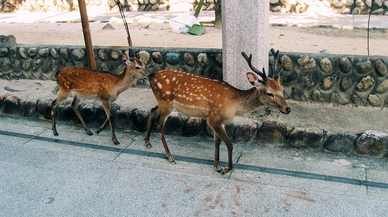 miyajima-deer.jpg