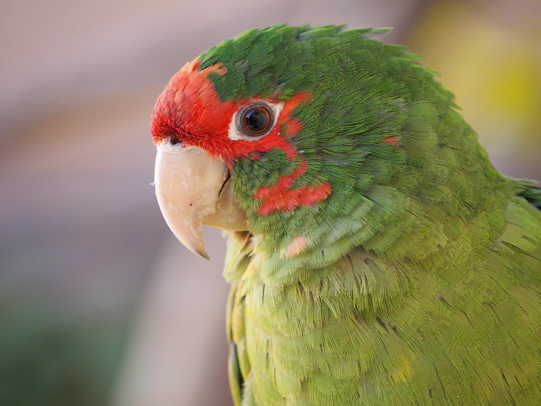 Resident Parrot, Inn, Cuzco, Peru