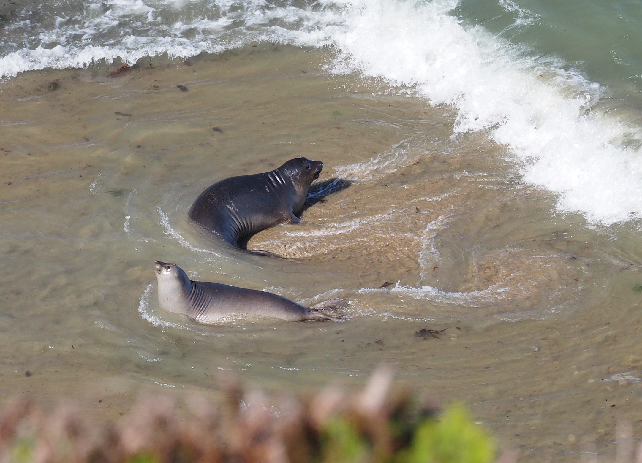 Elephant Seal Pups at Point Reyes, CA