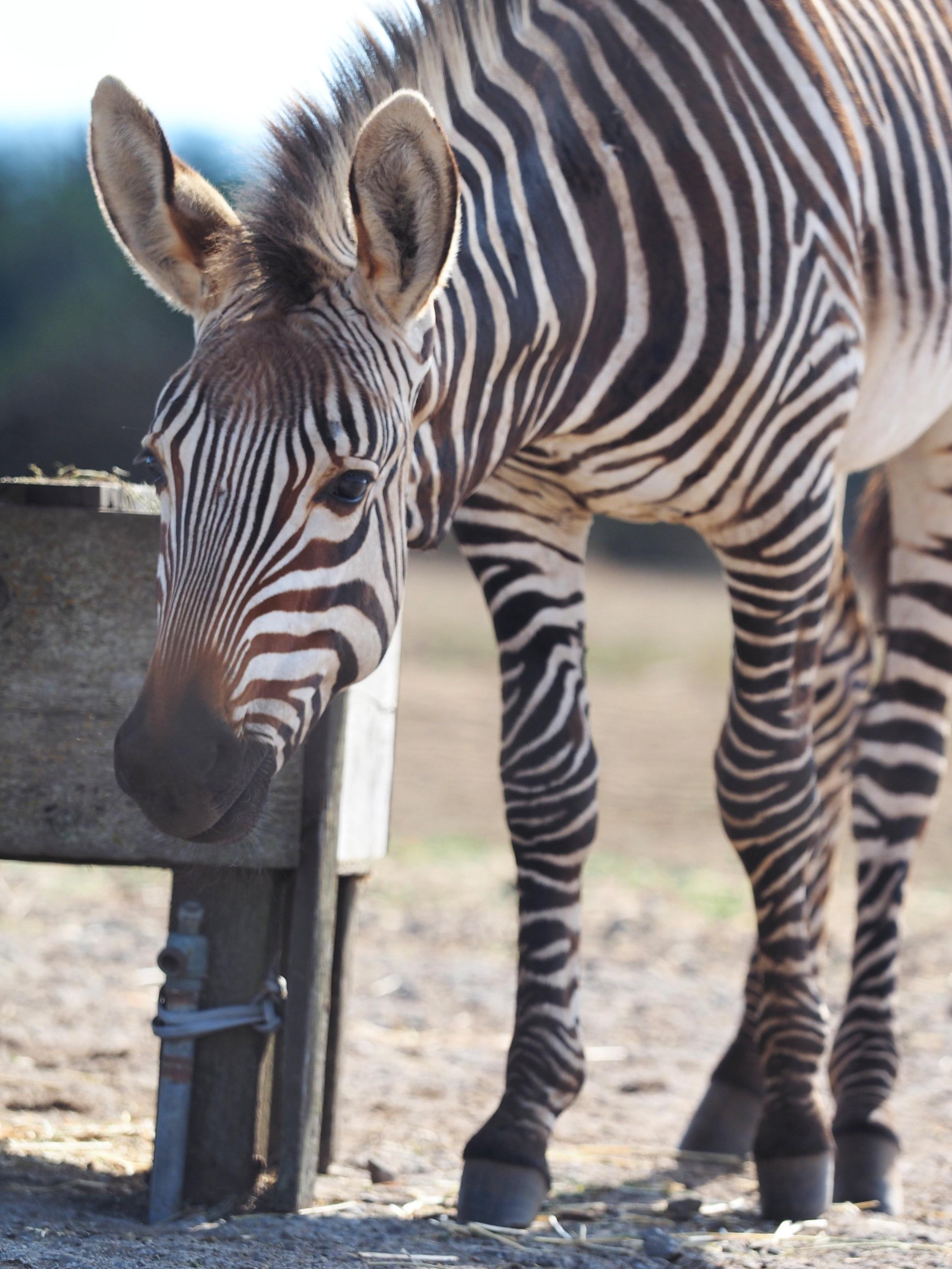 Hartmann's Mountain Zebra Foal, B. Bryan Preserve, Point Arena, CA (2019)