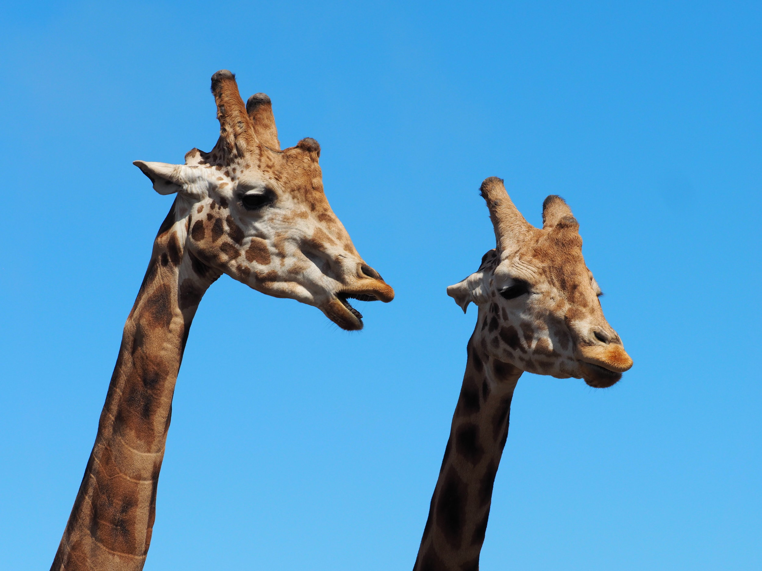 Rothschild's Giraffe, Endangered. (Juvenile Male Half-Brothers) B Bryan Preserve, Point Arena, CA
