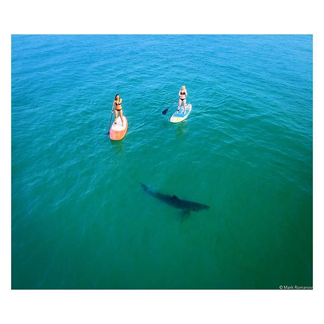Great white sharks! Would you paddle out too? Glad to see our little vid getting lots of love online and in the news, but I hope the message stays on point--that these wonderful animals aren't the monsters they're made out to be. Next post will be of the vid. Always a good time with Kelly, Jessica and Forrest! 🛥: @forrest.galante ⠀⠀⠀⠀⠀⠀⠀⠀⠀ ⠀⠀⠀⠀⠀⠀⠀⠀⠀ 👍😎👍 ⠀⠀⠀⠀⠀⠀⠀⠀⠀ ⠀⠀⠀⠀⠀⠀⠀⠀⠀ #california #sharks #greatwhiteshark #adventure #wildlife #wildlifephotography #ocean #paddleboard #work #bikini #models #sun #gws #drone #beach