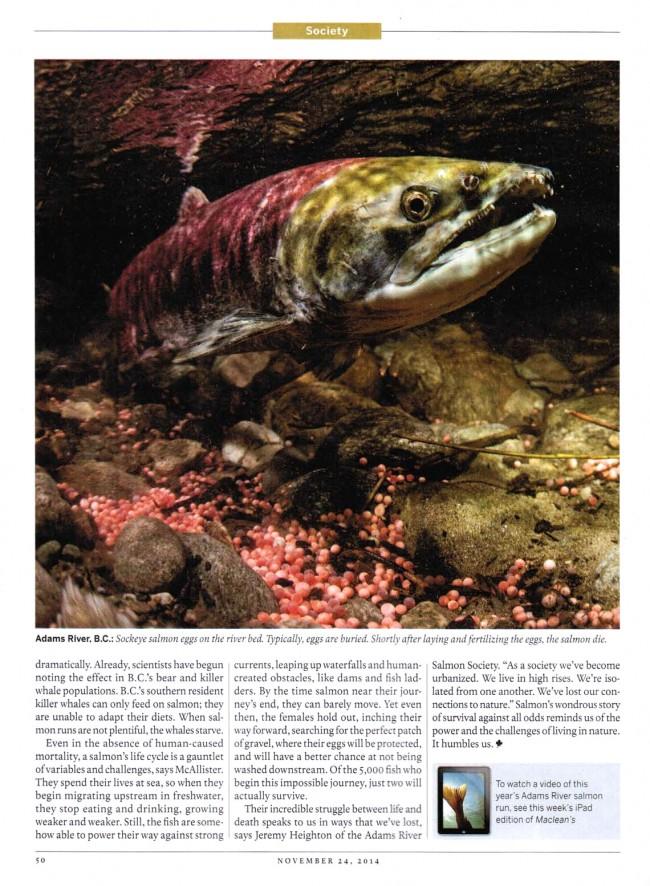 Paul Colangelo Maclean's Sockeye Salmon Adams River