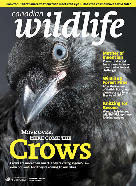Paul_Colangelo_Canadian_Wildlife_Magazine_Crows