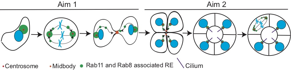 How do ciliated cells utilize their REs and centrosomes to develop into a functional polarized organ?   Shown is a model for how REs (green) organize at or around the centrosome (red) and target to the midbody (orange).   Aim 1  will determine the spatial and temporal activity of Rab8 and Rab11 and the dependence of this activity on the centrosome.   Aim 2  will address whether polarity is formed through RE-targeted vesicle transport during cytokinesis and maintained by spindle positioning.