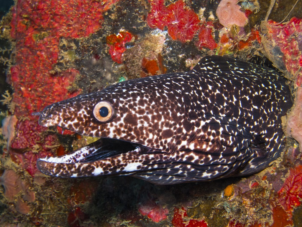 """""""Spotted Moray Eel"""" by @coby_bidwell via Flickr"""