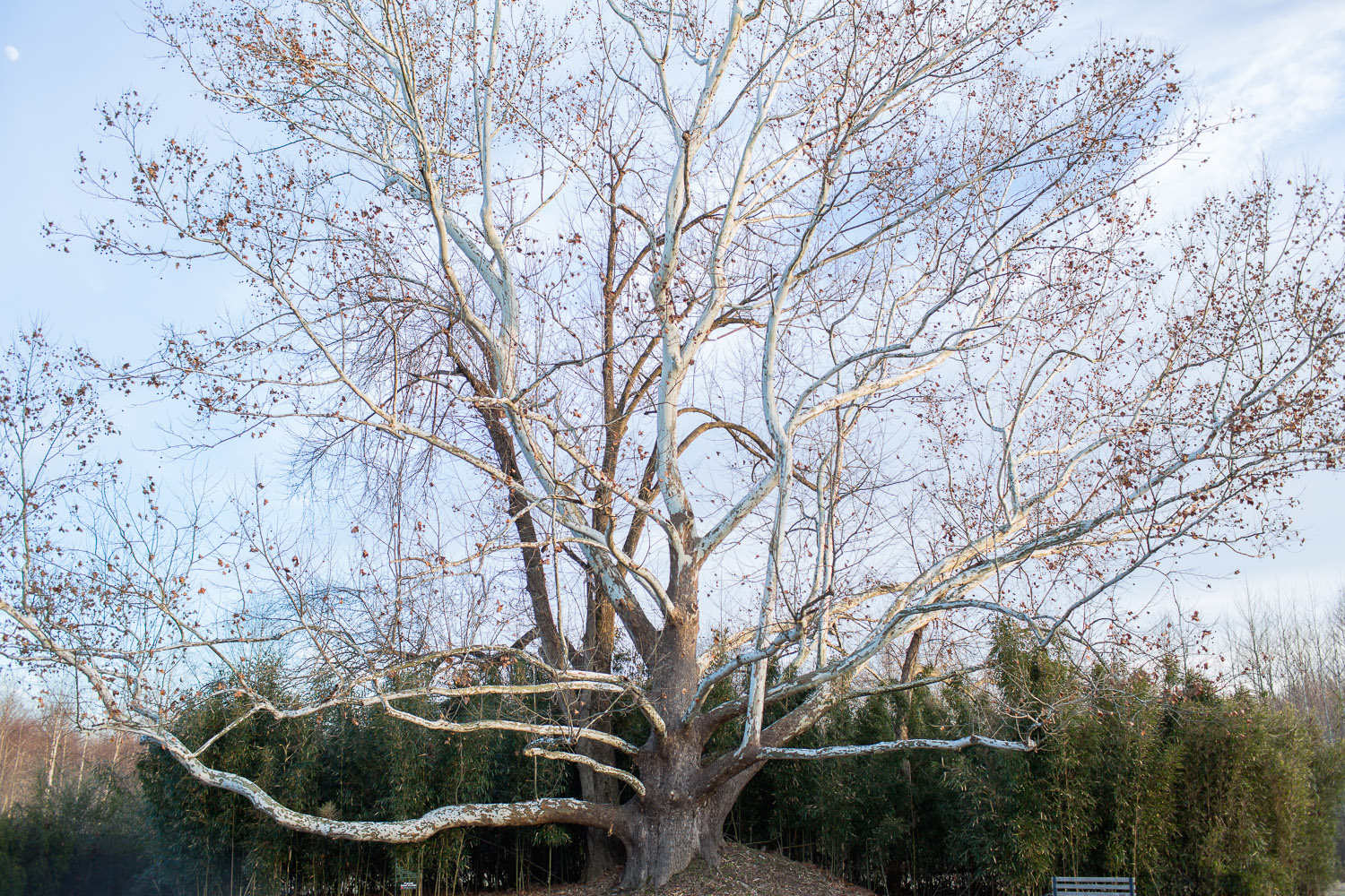 The Carahills II Historic Sycamore Tree is one of only 17 in Tennessee