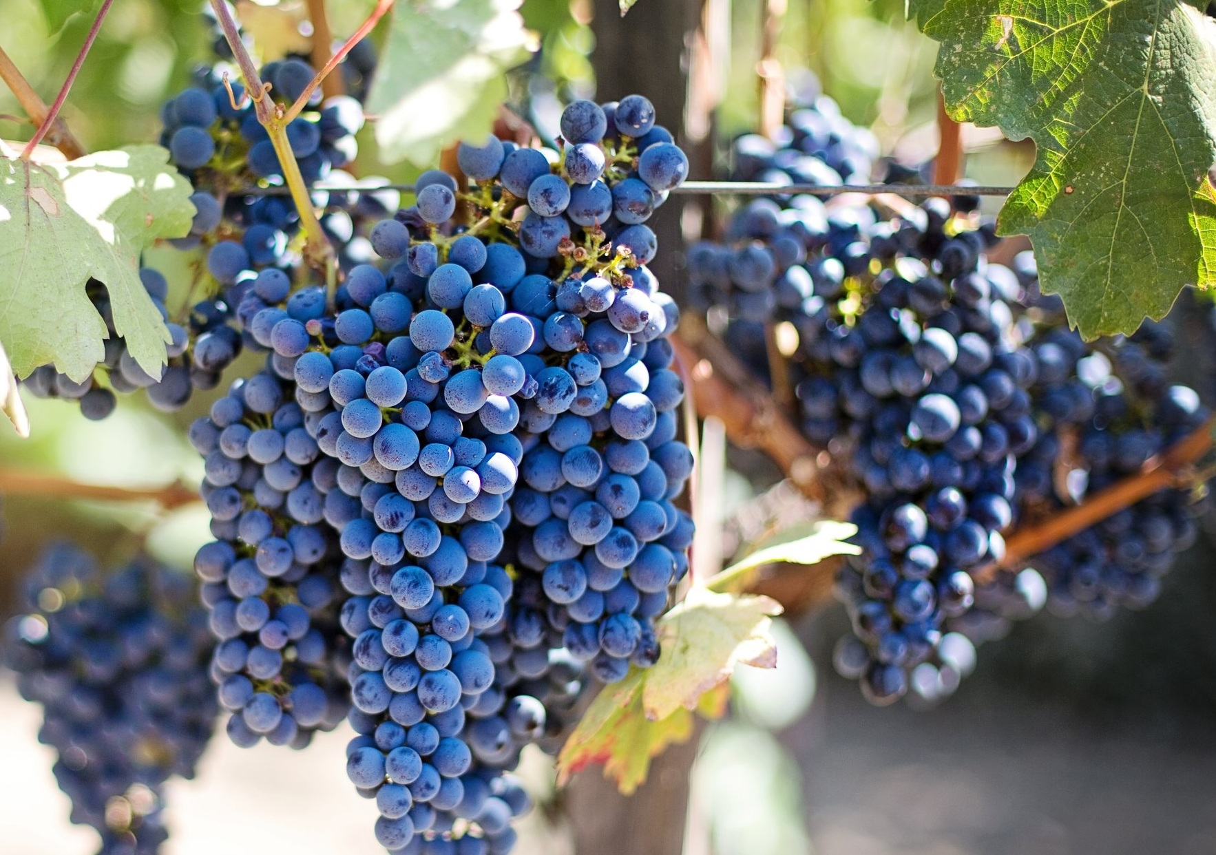 fruits-grapes-grapevines-45209.jpg