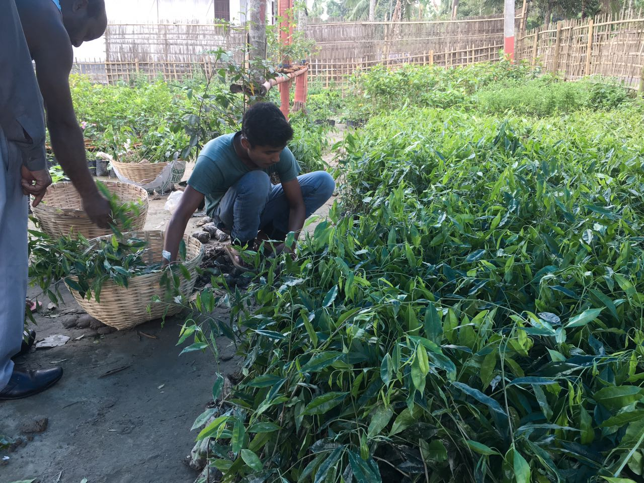 Agarwood saplings ready to plant.Species Aquilaria agalocha