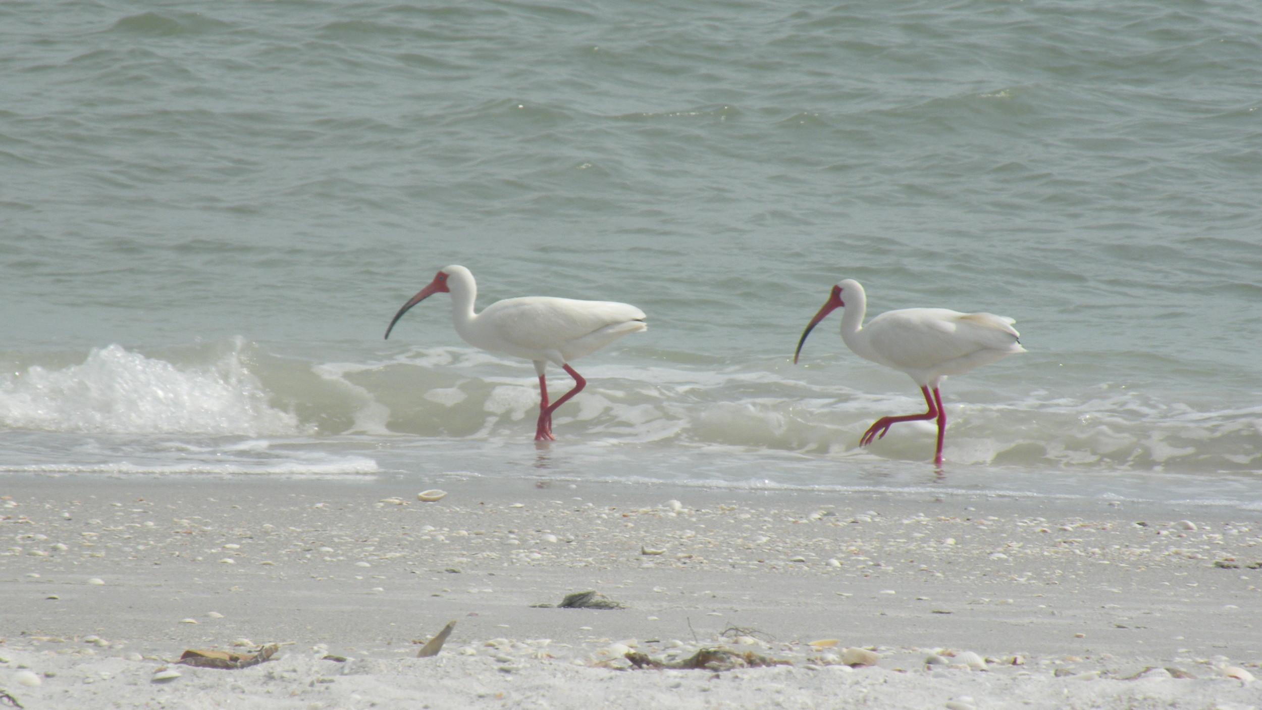 White Ibis on Beach.JPG