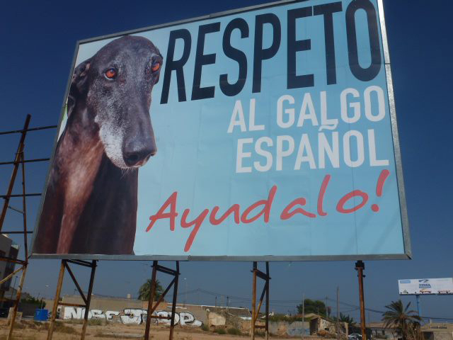 Location: Dos Mares, San Javier. GDS with sponsorship from Greyhounds Rescue Belgium.  Featured galgo is GDS's very own Lucas. Photograph: Nadine at Greyhounds Rescue Belgium.