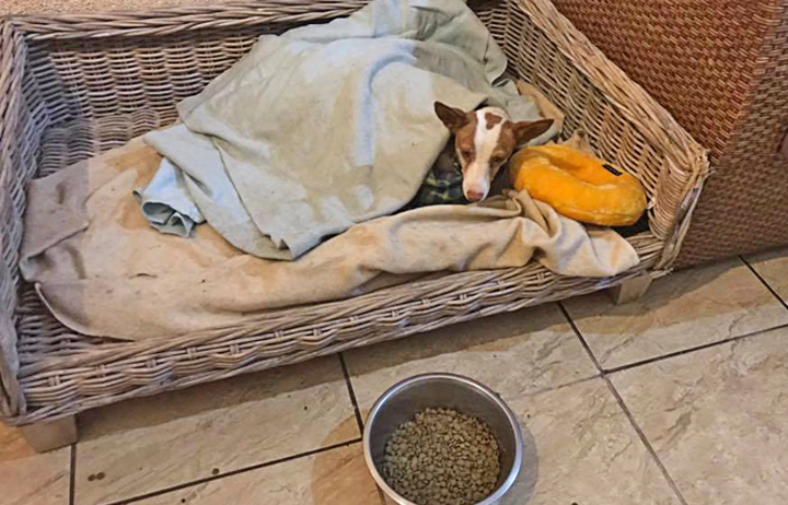 There were no available kennels at GDS so Perla was spoiled at the Solera home during her lying-in.