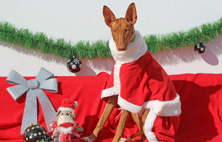 """2018 Christmas Advent Calendar. """"Cleopatra was living at a toll station on the motorway. She's now living the good life at GDS and is always a favourite with volunteers because she's cheeky and funny but she must move on soon to a forever home. Her ears and her little forehead wrinkle just make you love her even more, she's simply fabulous and super smart."""""""
