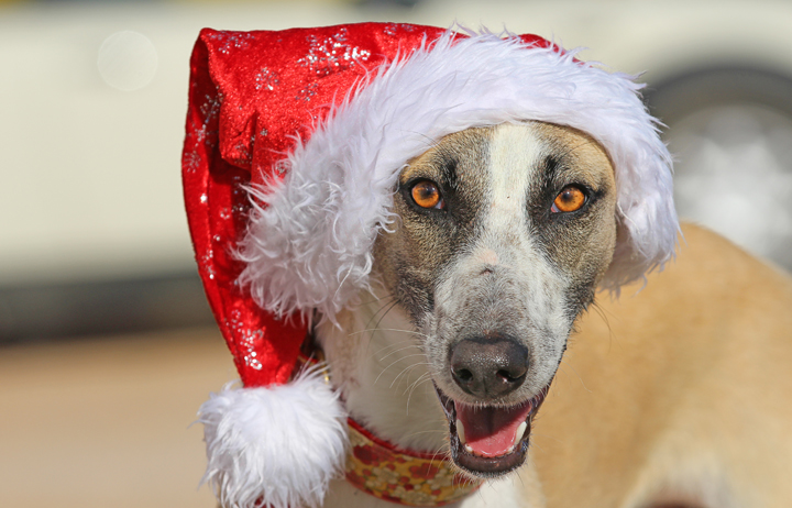 "2018 Christmas Advent Calendar. ""Shy a beautiful galgo pod mix! Shy was introduced to you this morning but to keep her in your mind let's show you her beautiful face again."""