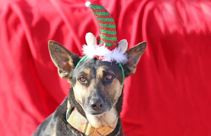 "2018 Christmas Advent Calendar. ""Lady was abandoned twice, a victim of falling into the wrong uncaring hands. She's a really smart pretty girl that adores people and other dogs. She was sick on the streets with disease but she's recovered well with treatment and looks amazing now. We would love lady to find a local home here in Spain. Will you share ??"""