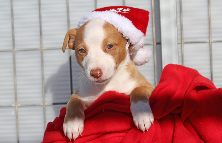 """2018 Christmas Advent Calendar. """"Puff is one of Perla's pups. She's a sweet happy girl that loves her mummy and follows her around now that she's found her feet. She will make a wonderful companion when she's ready, for now tho she just popped by to say Happy Christmas."""""""