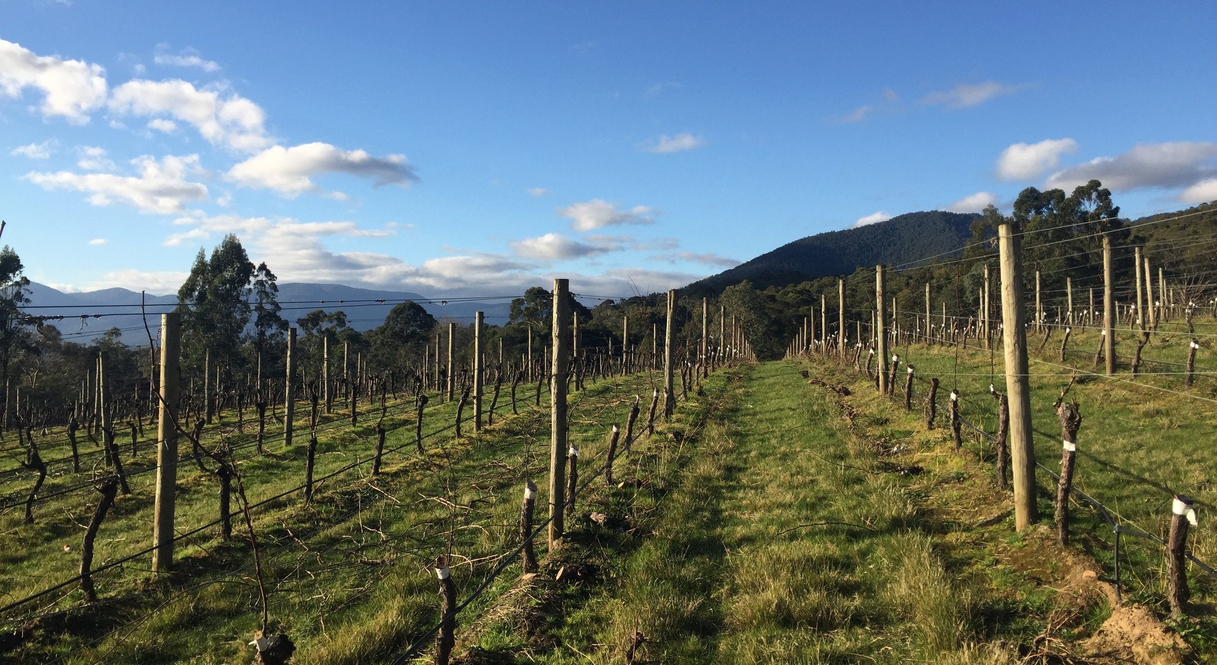 Malbec grafted onto Chardonnay