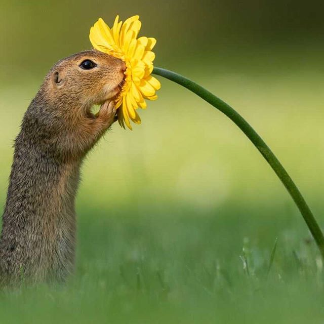 Are you seeing what I'm seeing? A squirrel SMELLING A FLOWERRRR!! @bethanycruzlive  made my day when she sent me this, just paying it forward. #mondaymotivation 📷: @dick.vanduijn