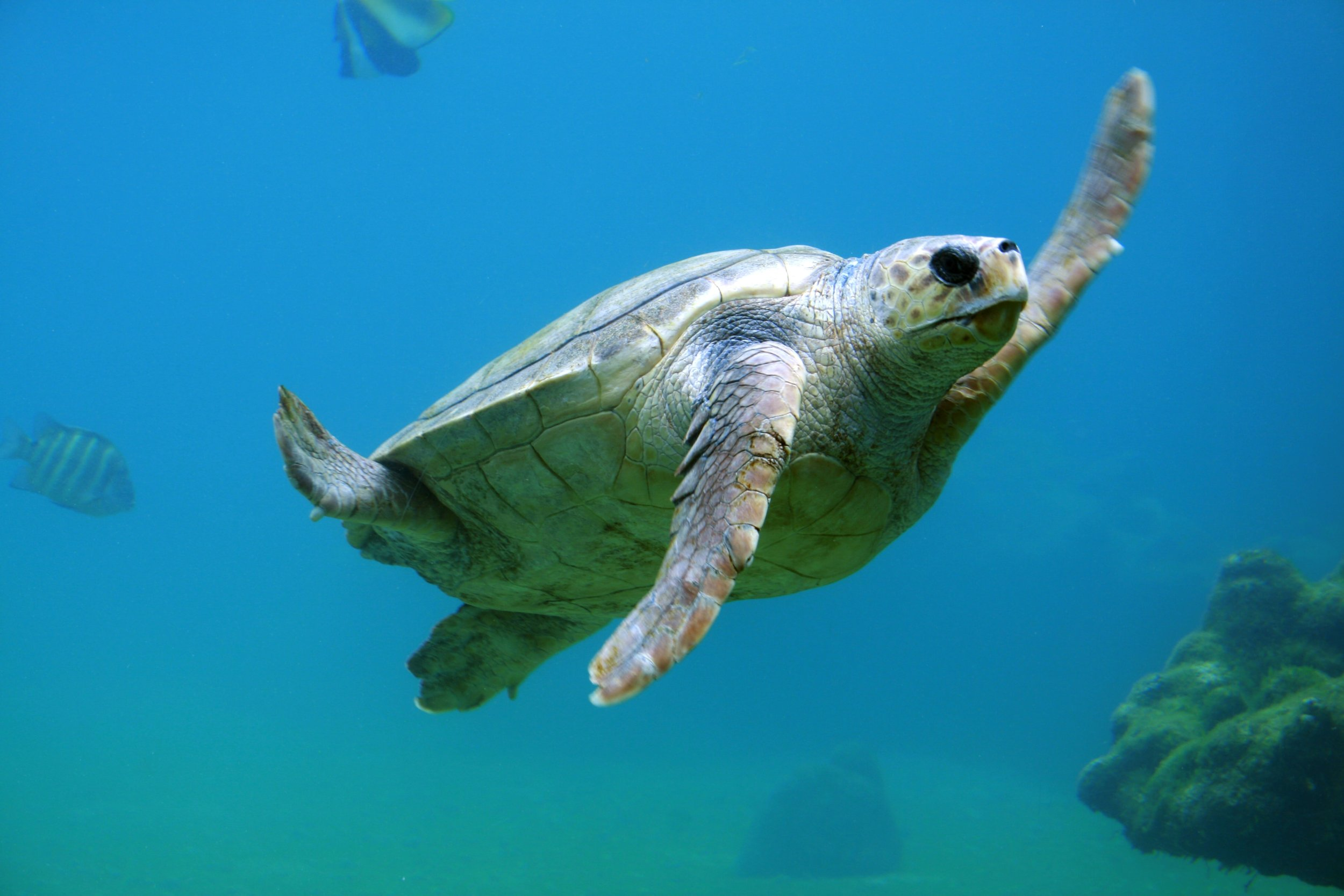 turtle in the belize barrier reef