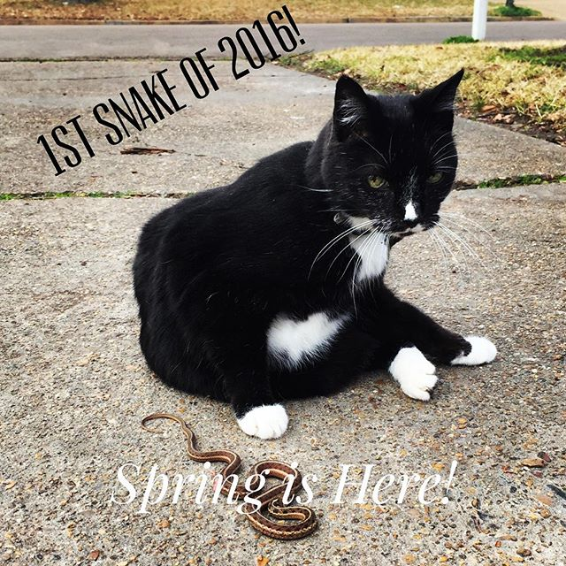 Eli, who is 15, lets us know every year when spring has arrived by catching a garter snake! (The vet said he'd gone blind, but we beg to differ! His sight is coming back. All things are possible!) #groundhogssuck #whatsyourexcuse #catsofinstagram