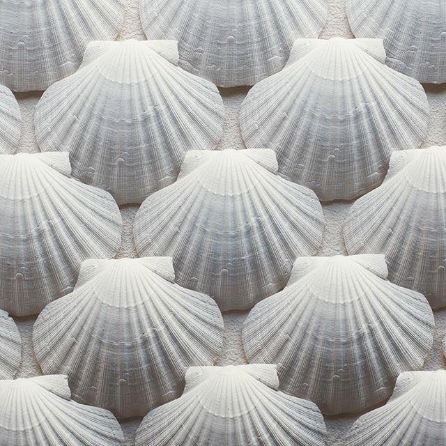 Mer kunstkort! #kamskjell #shell #marinelife #beach #seafood #pectinidae #scallops #scallop #pattern #texture #art #kammmuscheln #vieiras #coquillages #wallart #bw #white #beige #grey