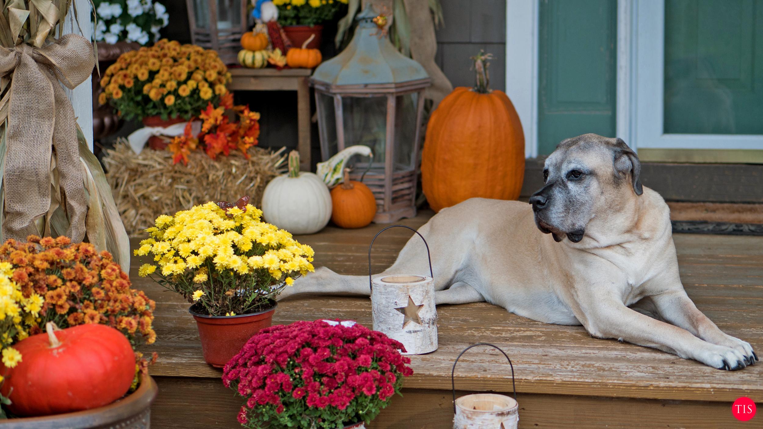 English Mastiff Enjoying The Front Porch Decor