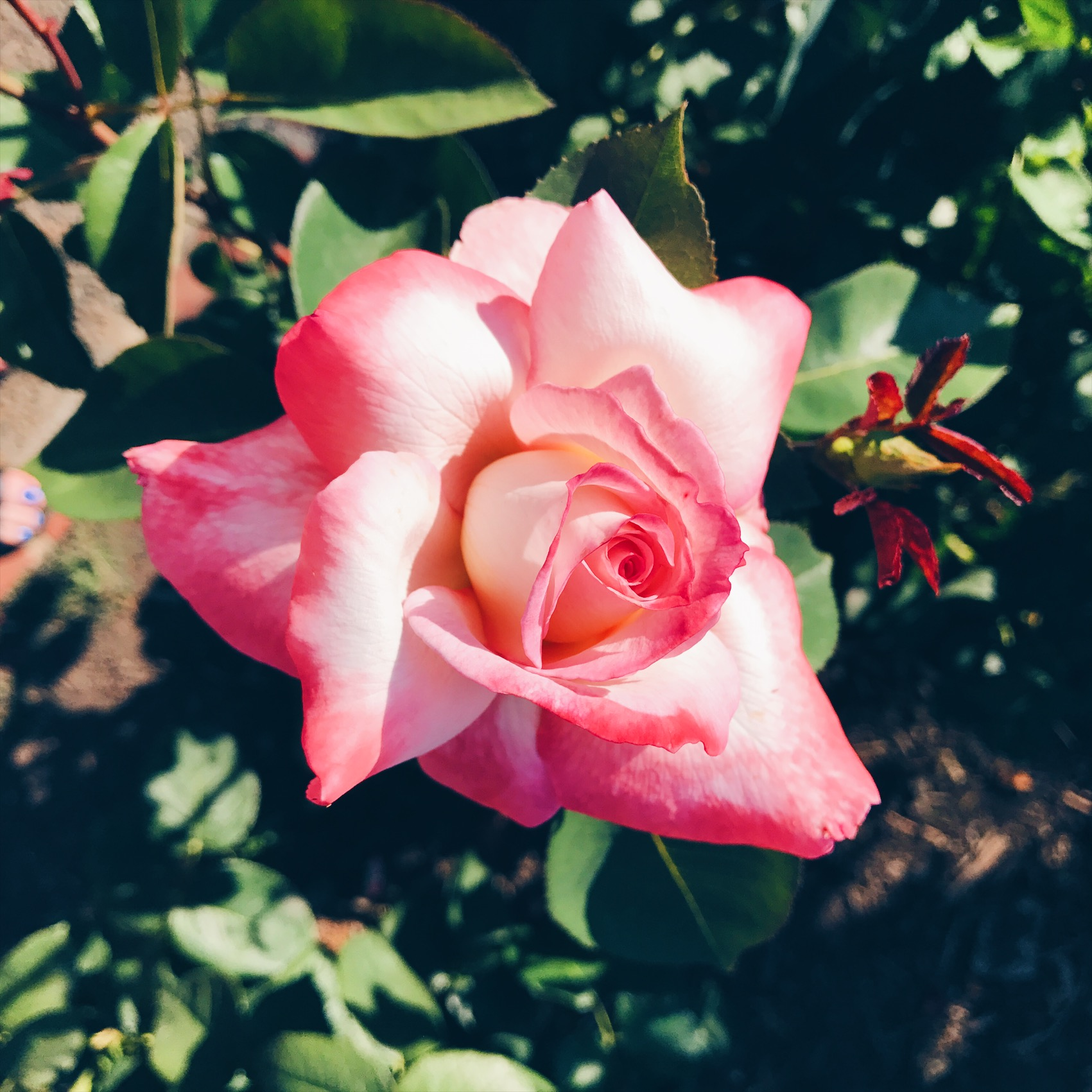 rose colored times
