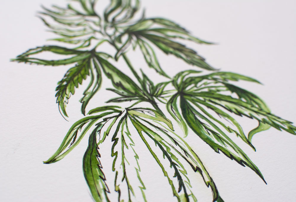 cannabis-watercolor-illustration-kristen-williams-designs