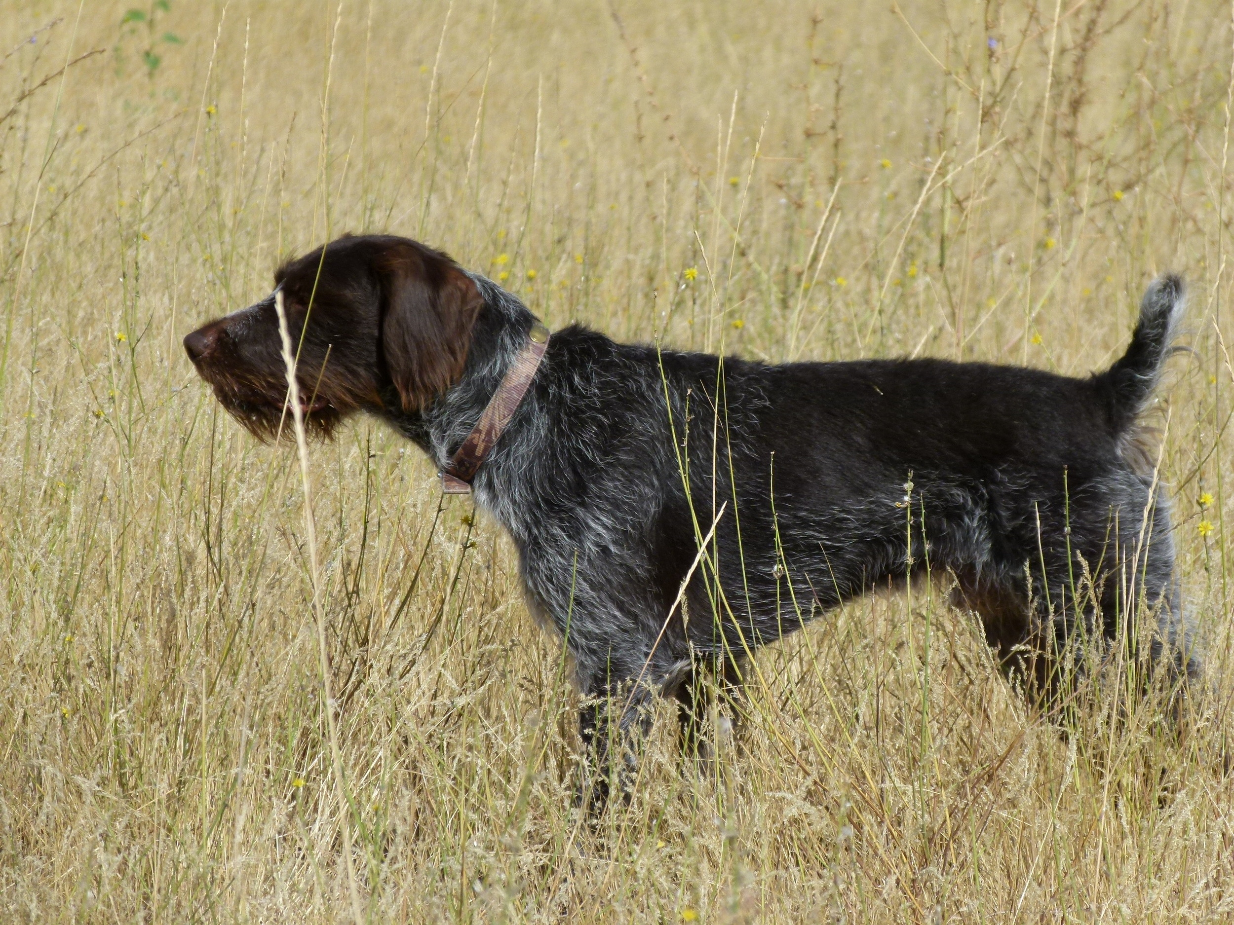 German Wirehaired Pointer Picture