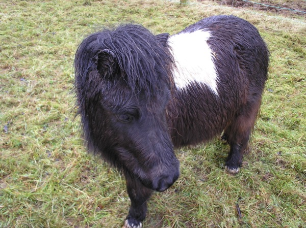 Sheltland-ponies-009resized.jpg