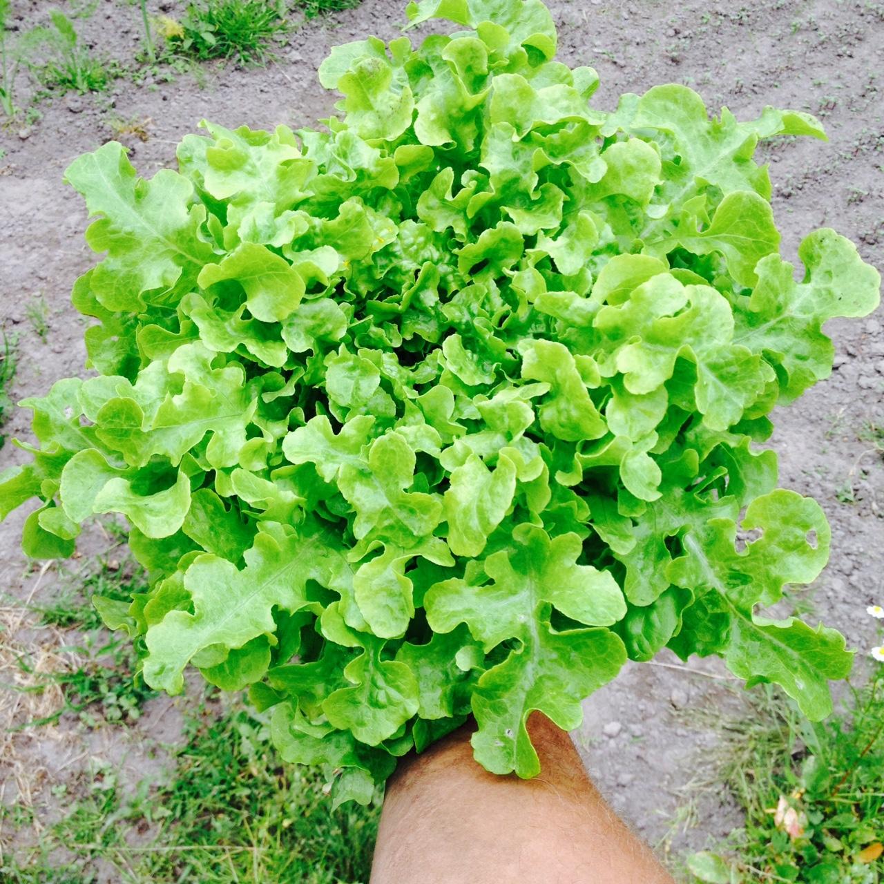 eikenblad groen.jpg