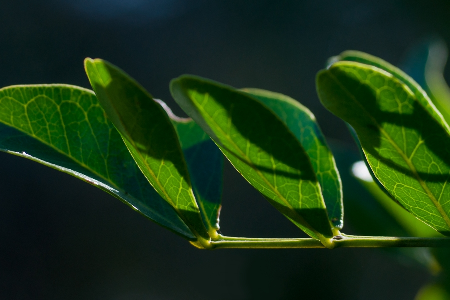 Leaves captured at f5 (1/500th of a second, ISO100) with a 100 mm lens.