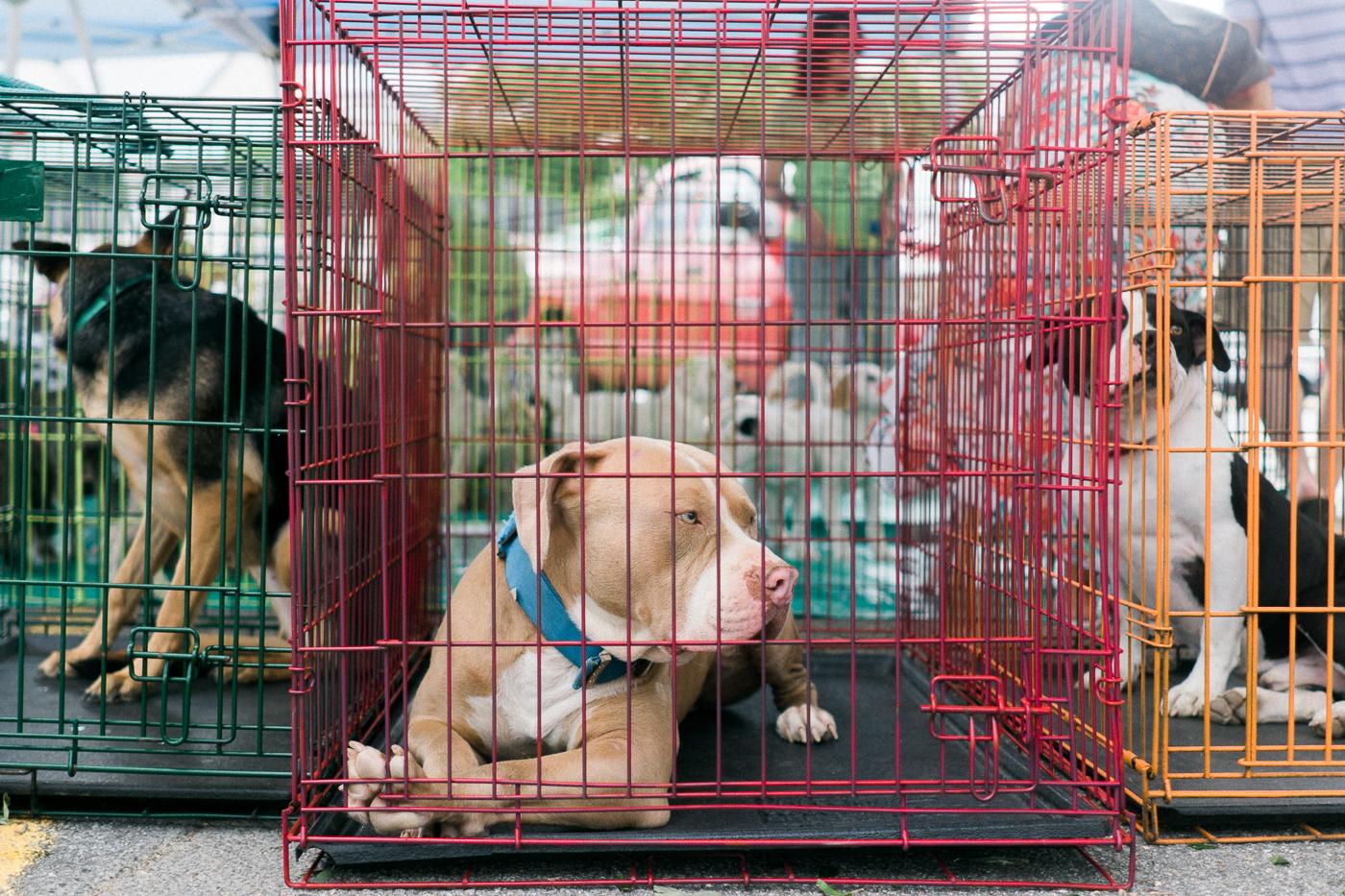Goober, a Pitbull up for Adoption through A Doggie 4 You