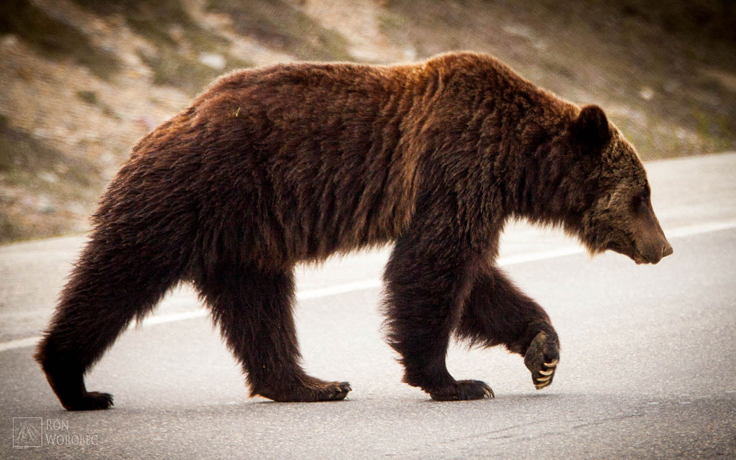 bear_crossing_road.jpg