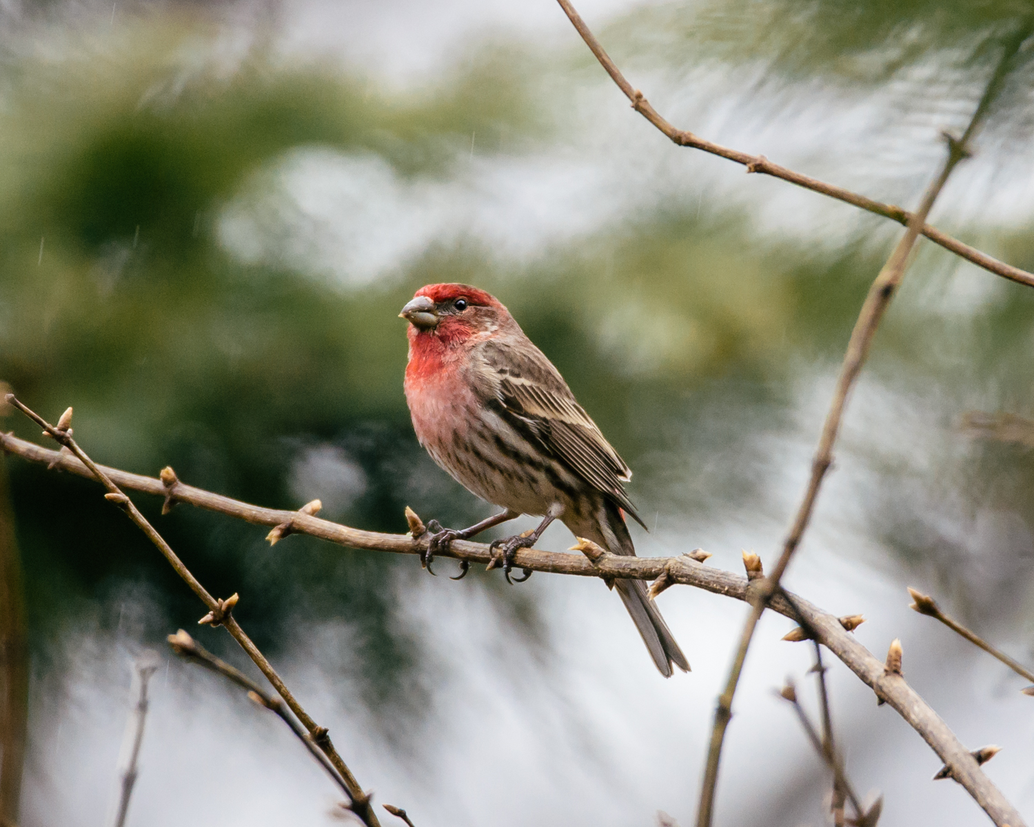 House Finch, Franklin TN // 2018