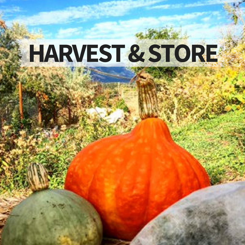 How to harvest & store squash