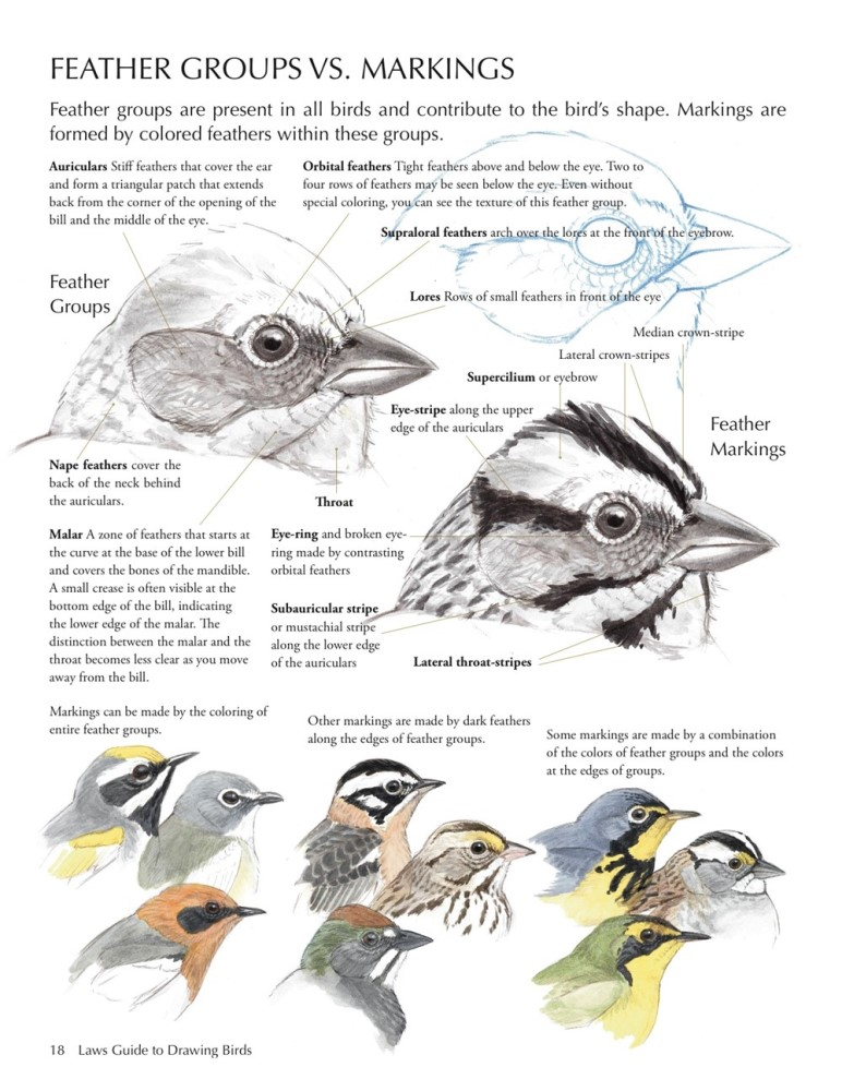 laws-guide-to-drawing-birds-booktopia-the-laws-guide-to-drawing-birds-john-muir-laws.jpg