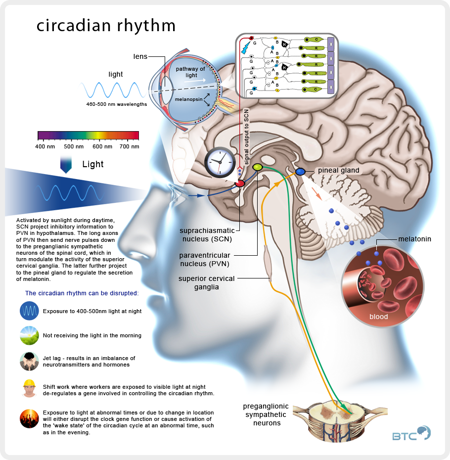 Effects of light on Circadian Rhythms (click to enlarge)