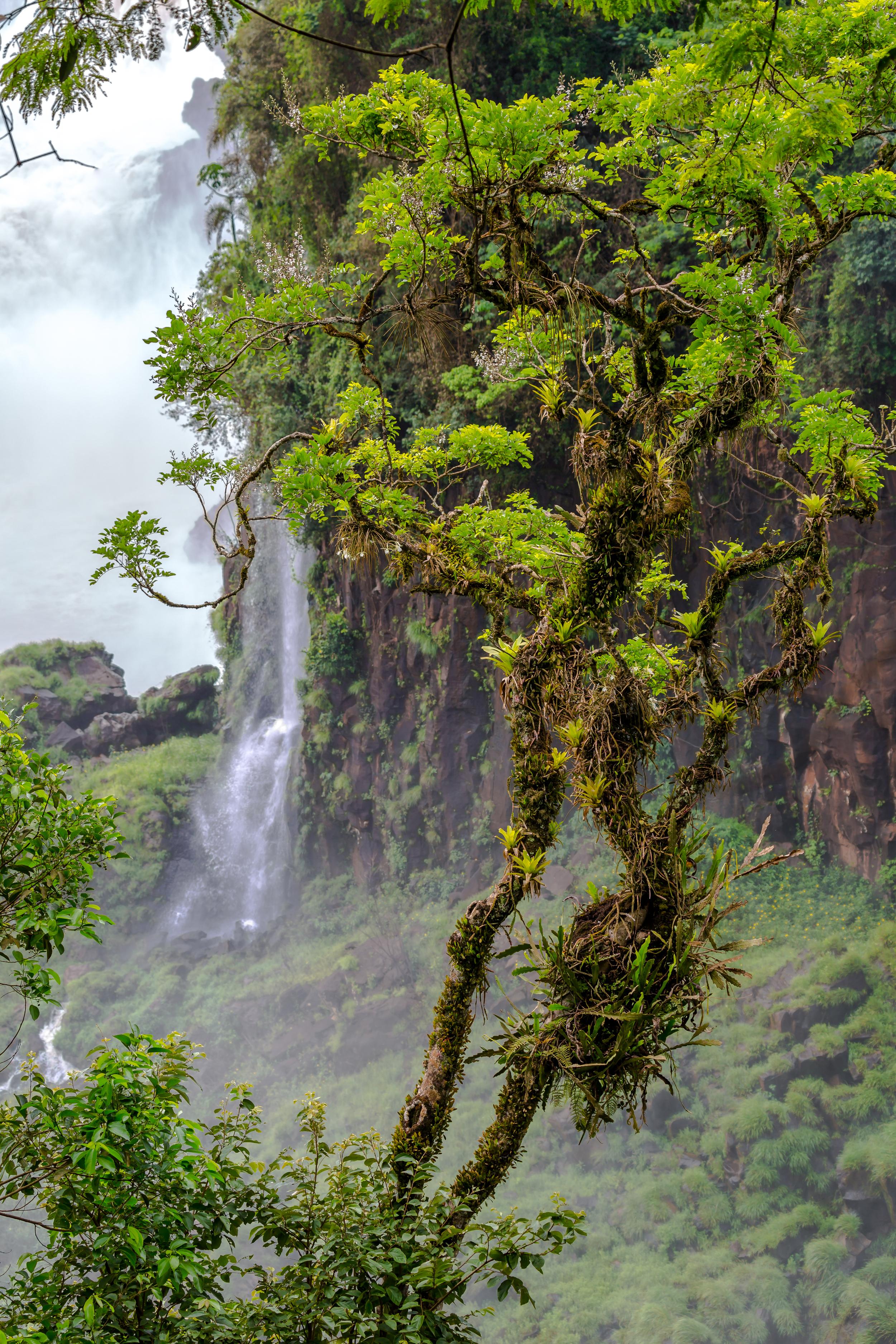 Tree at he Iguazu falls.jpg