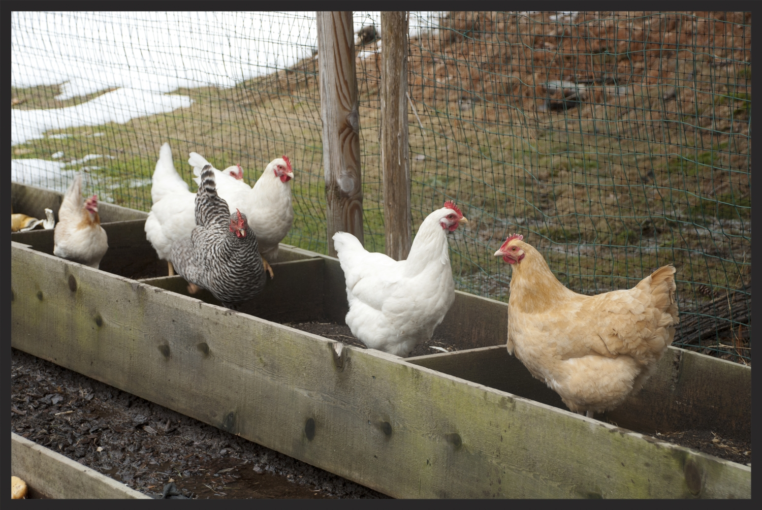 Our organic chickens in their coop!