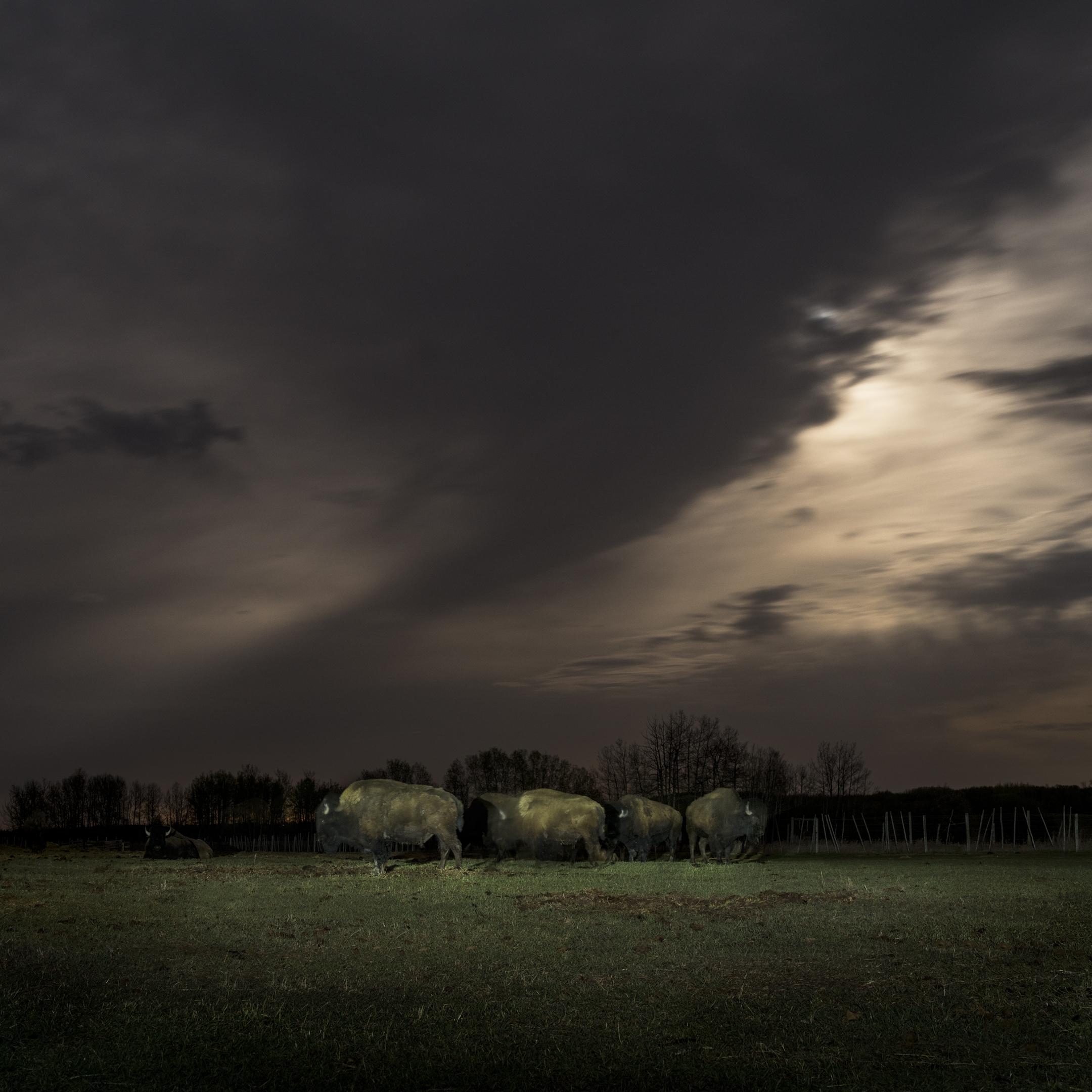 Buffalo Under Moonlight (2016)