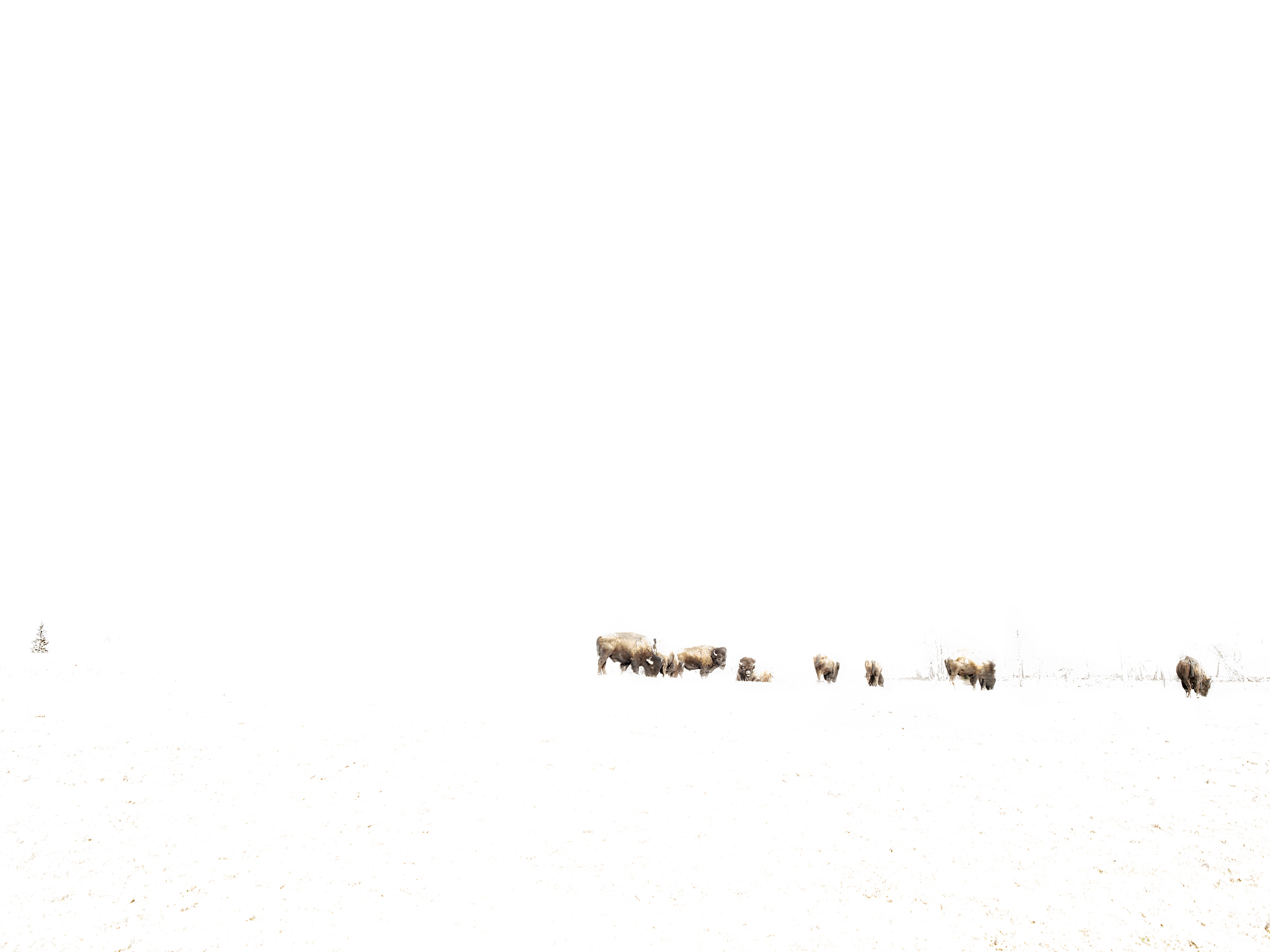 Buffalo Grazing in the Positive (2016)