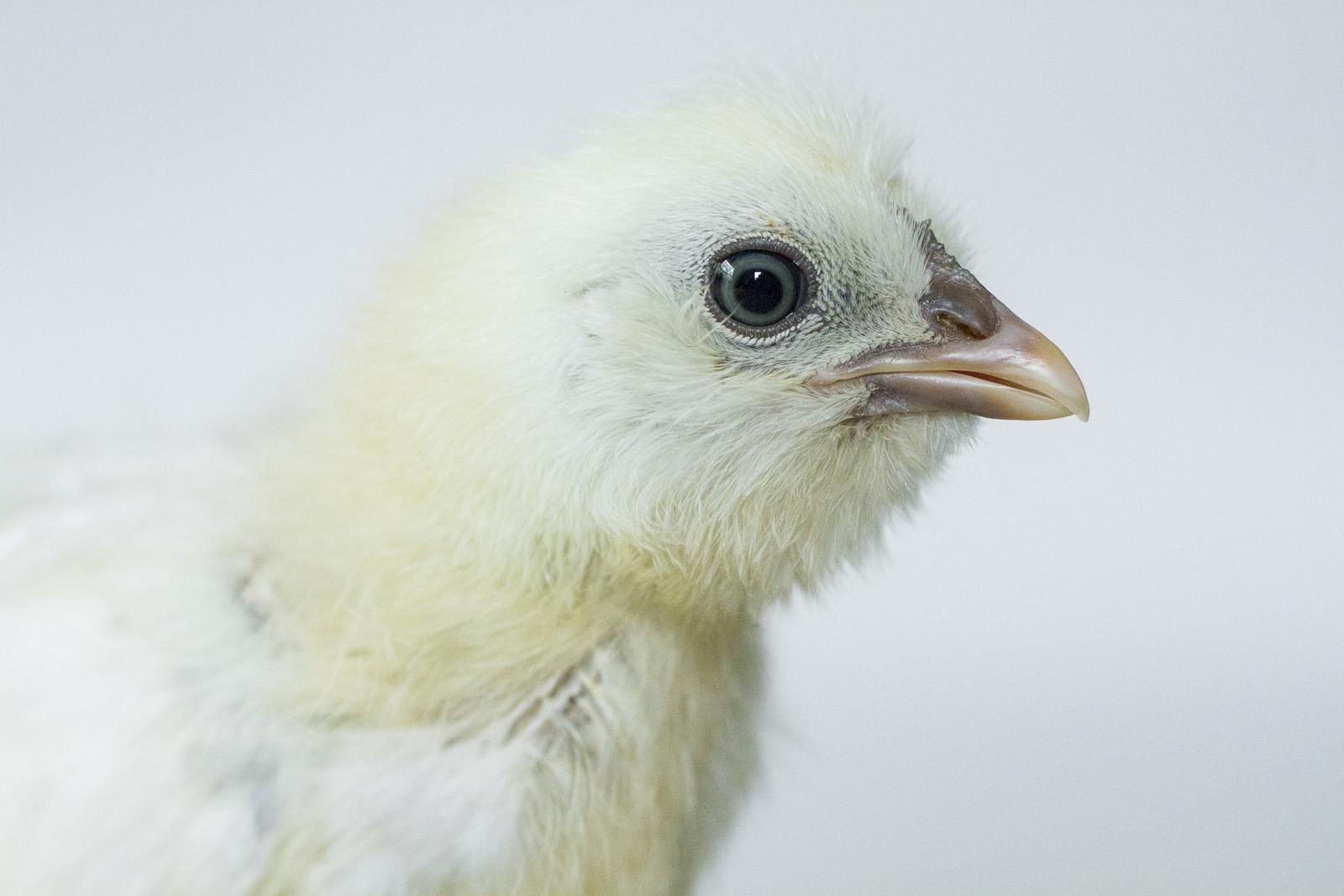 chick 5