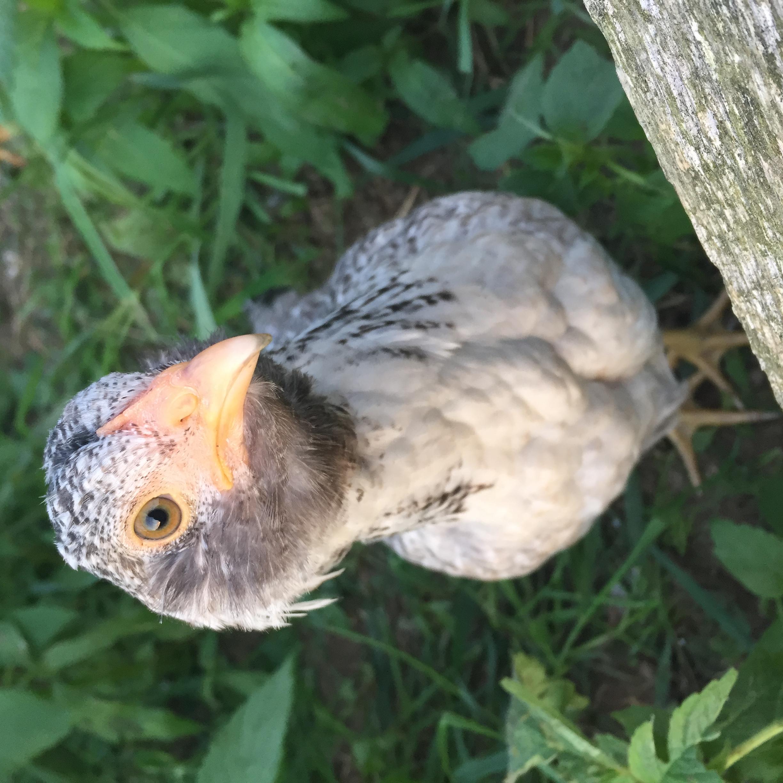 jessica fletcher the chicken