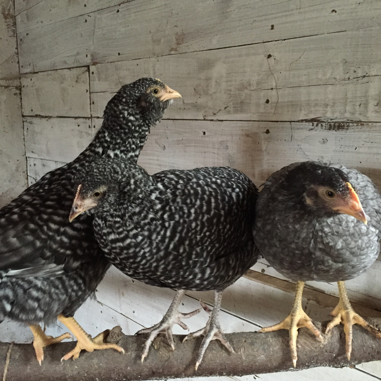 three chicks